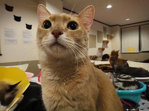 猫cafeラグドール